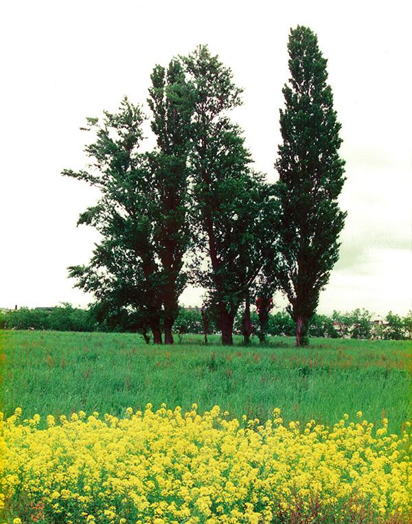 新琴似のポプラ 草原に立つ